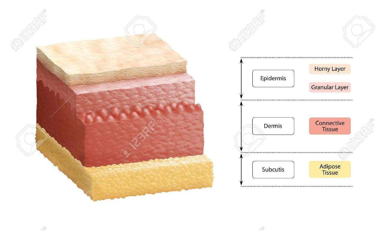 Layers Of Human Skin Stock Photo, Picture And Royalty Free Image ...