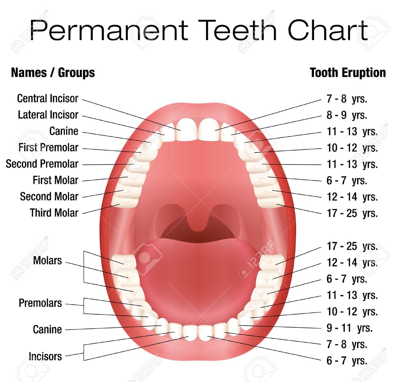 Teeth names and permanent teeth eruption chart with accurate teeth names and permanent teeth eruption chart with accurate notation of the different teeth groups ccuart Image collections