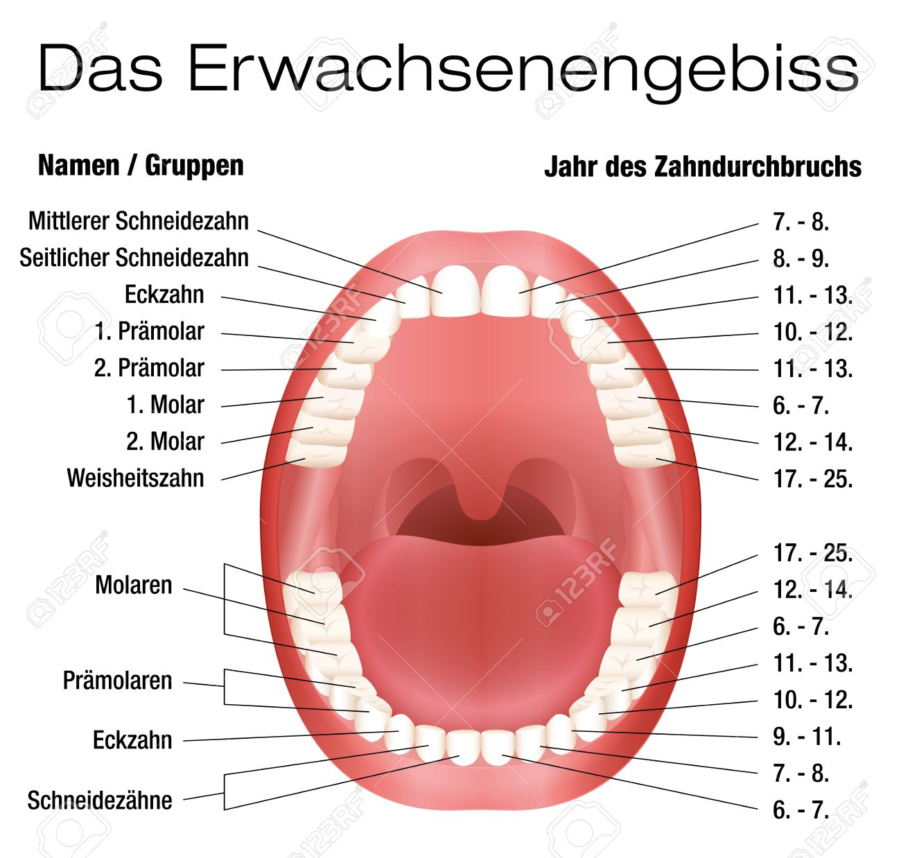 Teeth Names And Permanent Teeth Eruption Chart With Accurate ...