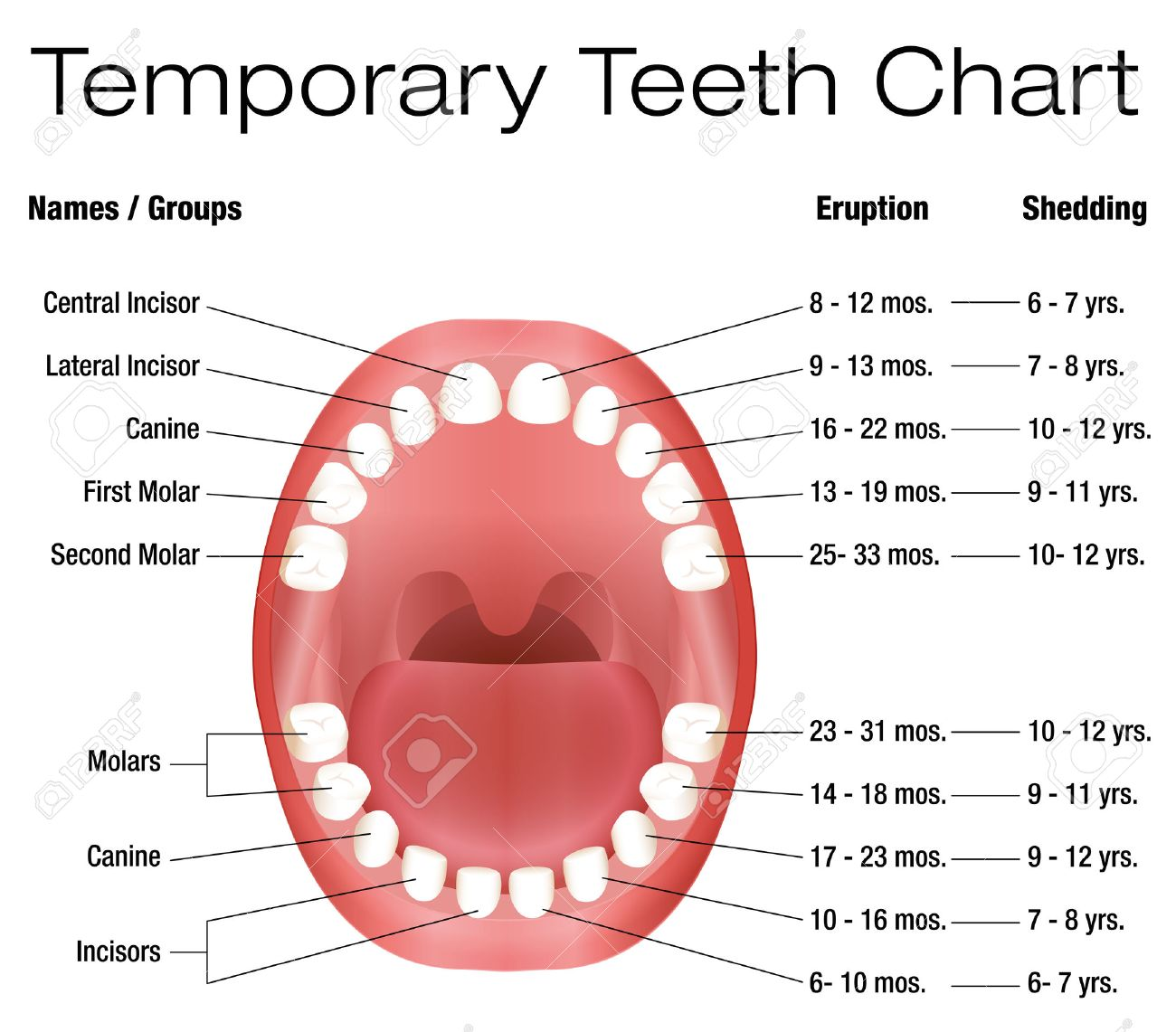 Temporary teeth names groups period of eruption and shedding temporary teeth names groups period of eruption and shedding of the childrens teeth ccuart Image collections