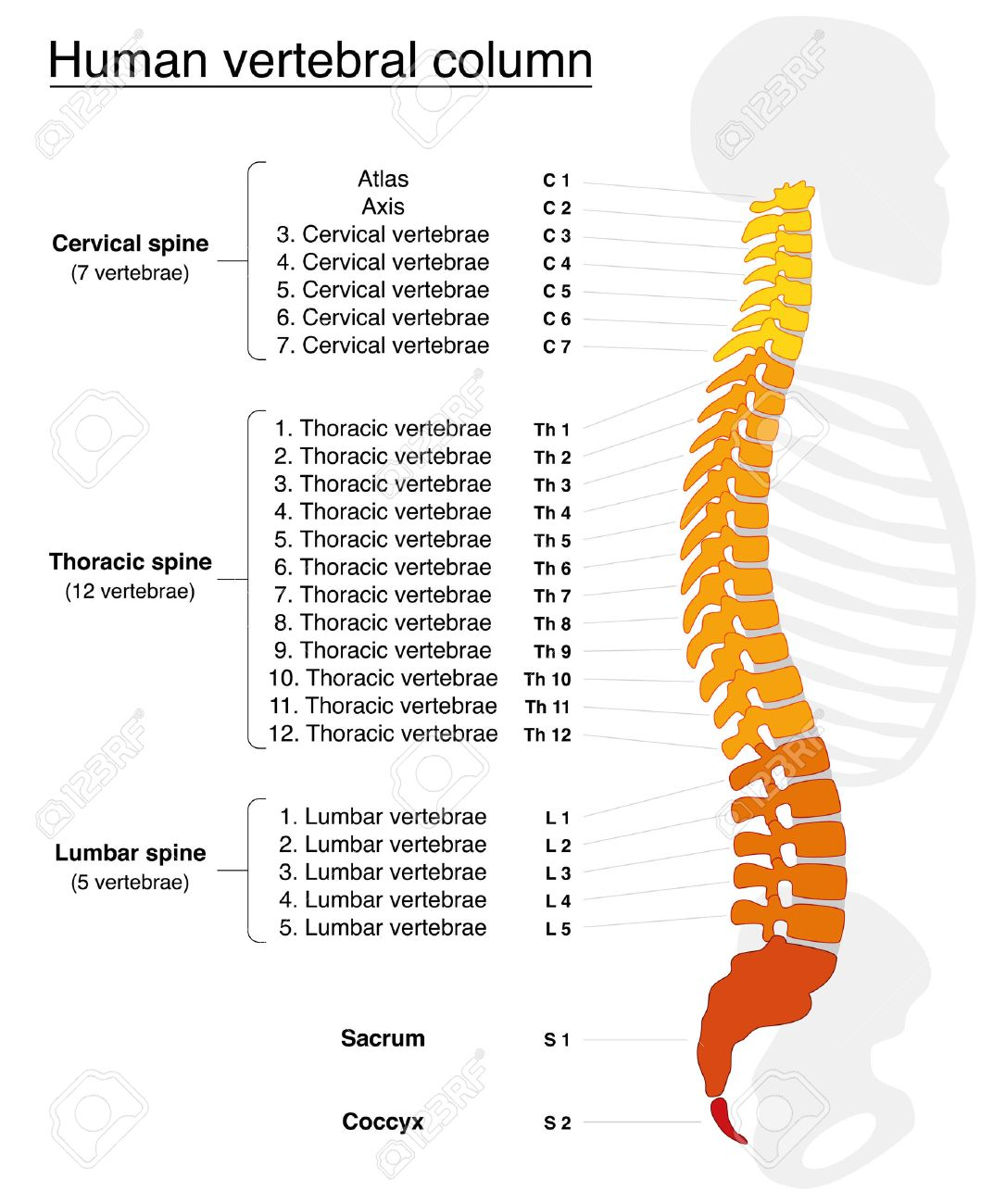 Vertebral Column With Names And Numbers Of The Vertebras - Lateral ...