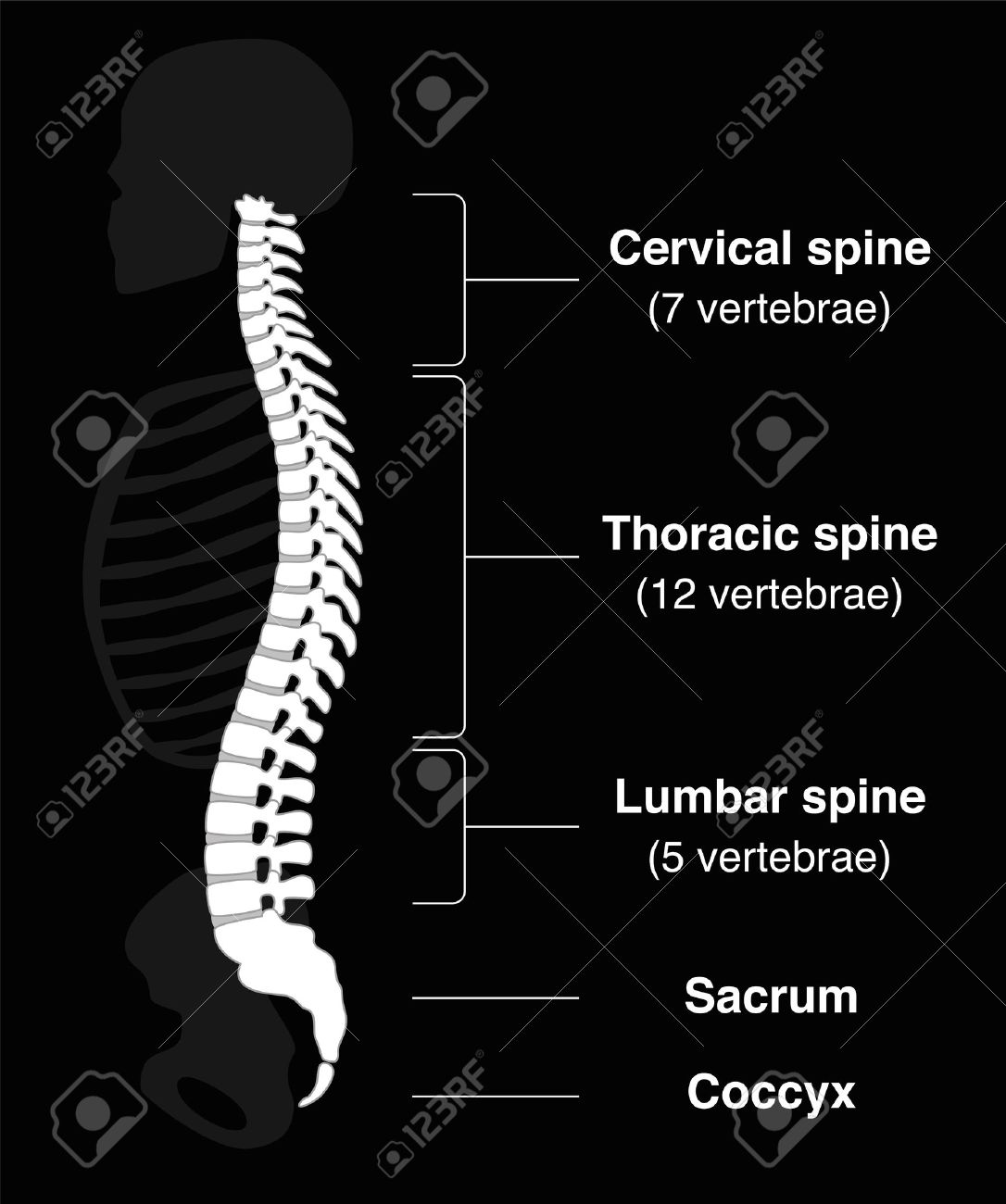 Human backbone with names of the spine sections and numbers of the vertebras. Isolated vector illustration on black background. Standard-Bild - 45703933