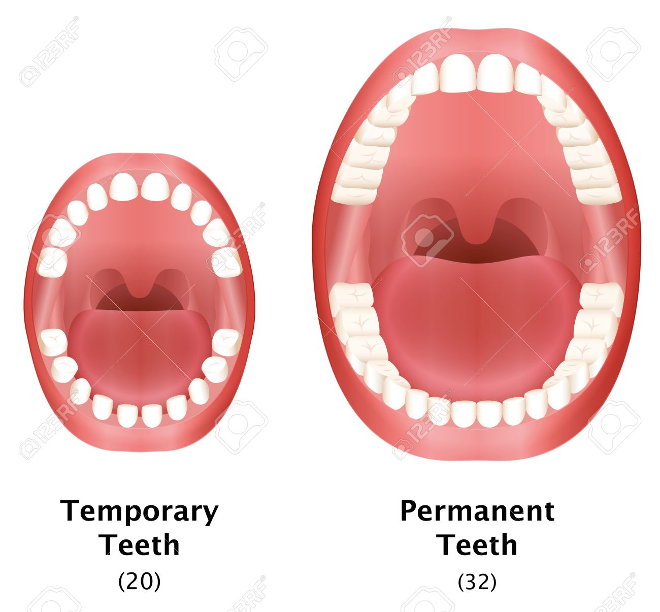 Comparison of temporary teeth of a child and permanent teeth of an adult natural dentition. Isolated vector illustration on white background. - 45716959
