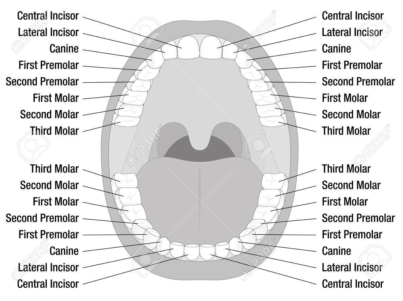 Zähne Namen Der Bleibenden Zähne. Isolierte Darstellung Auf Weißem ...