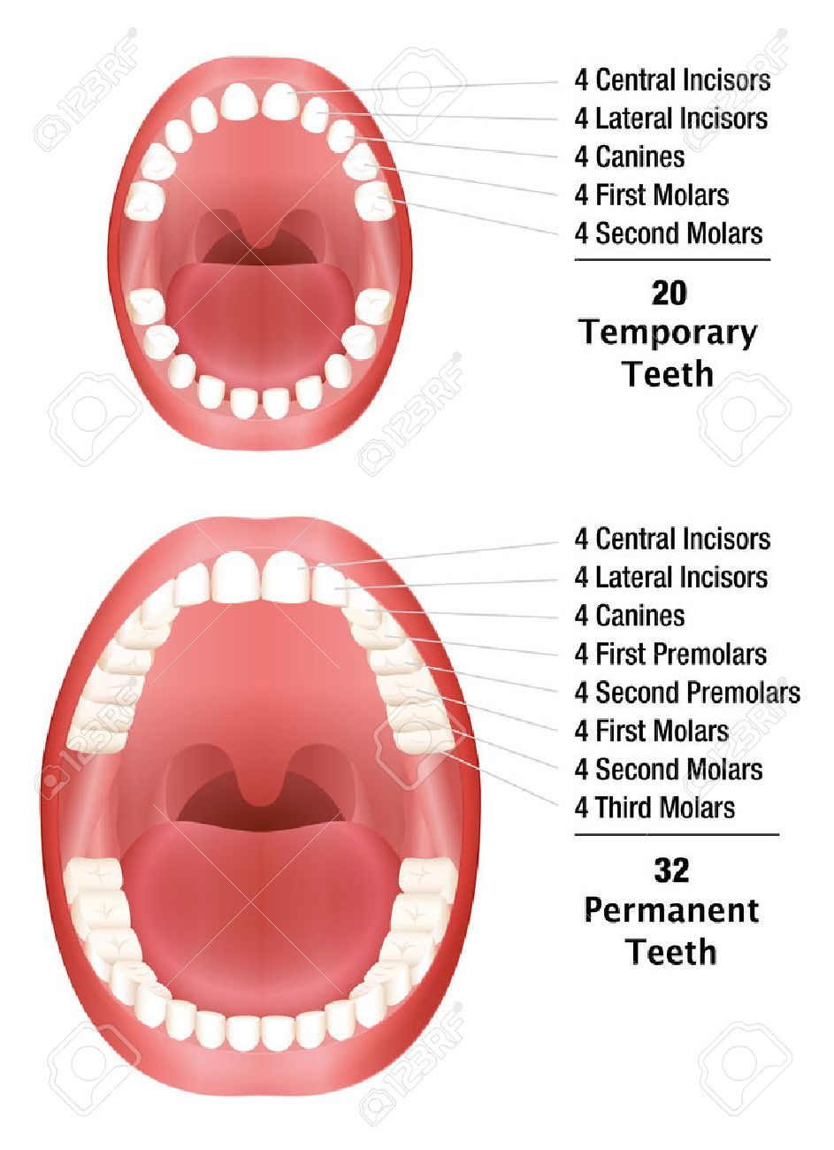 Temporary teeth permanent teeth number of milk teeth and temporary teeth permanent teeth number of milk teeth and adult teeth isolated illustration ccuart Image collections