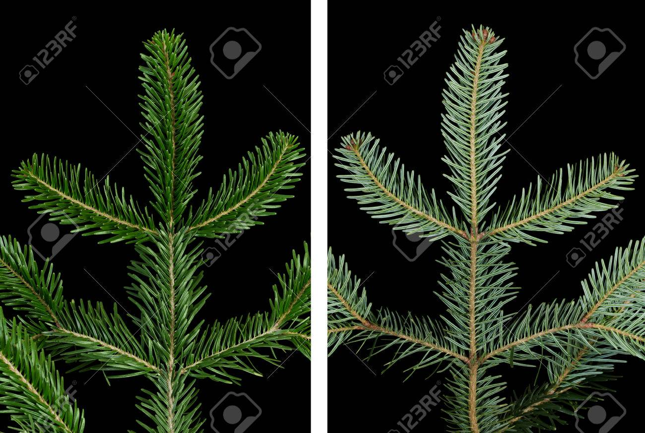 European Silver Fir Branch Upper Side On Black Background Foliage