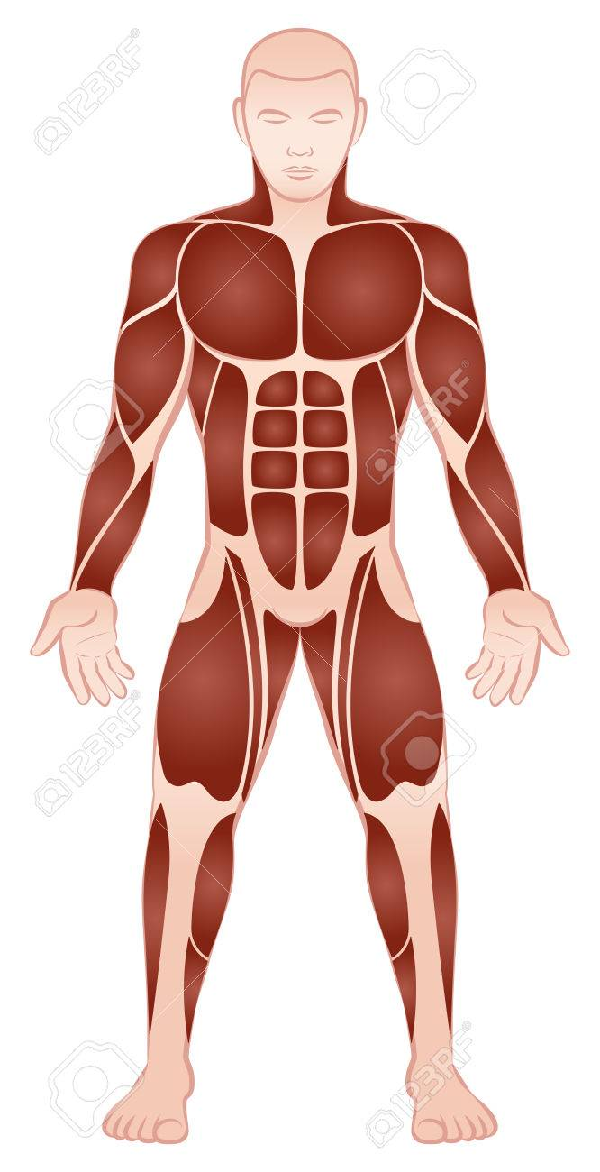 Muscle Groups Of A Muscular Male Bodybuilder With Athletically
