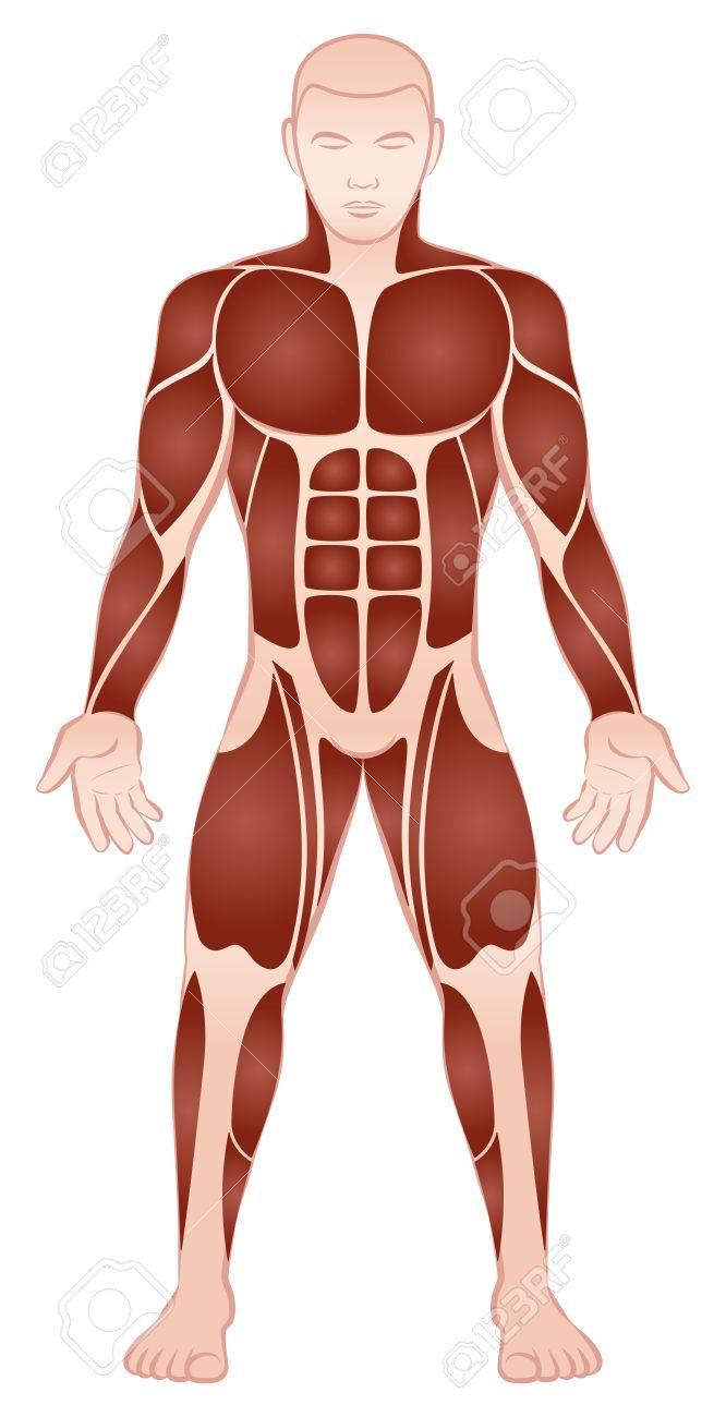 Muskelgruppen Eines Muskulösen Männlichen Bodybuilder Mit Athletisch ...