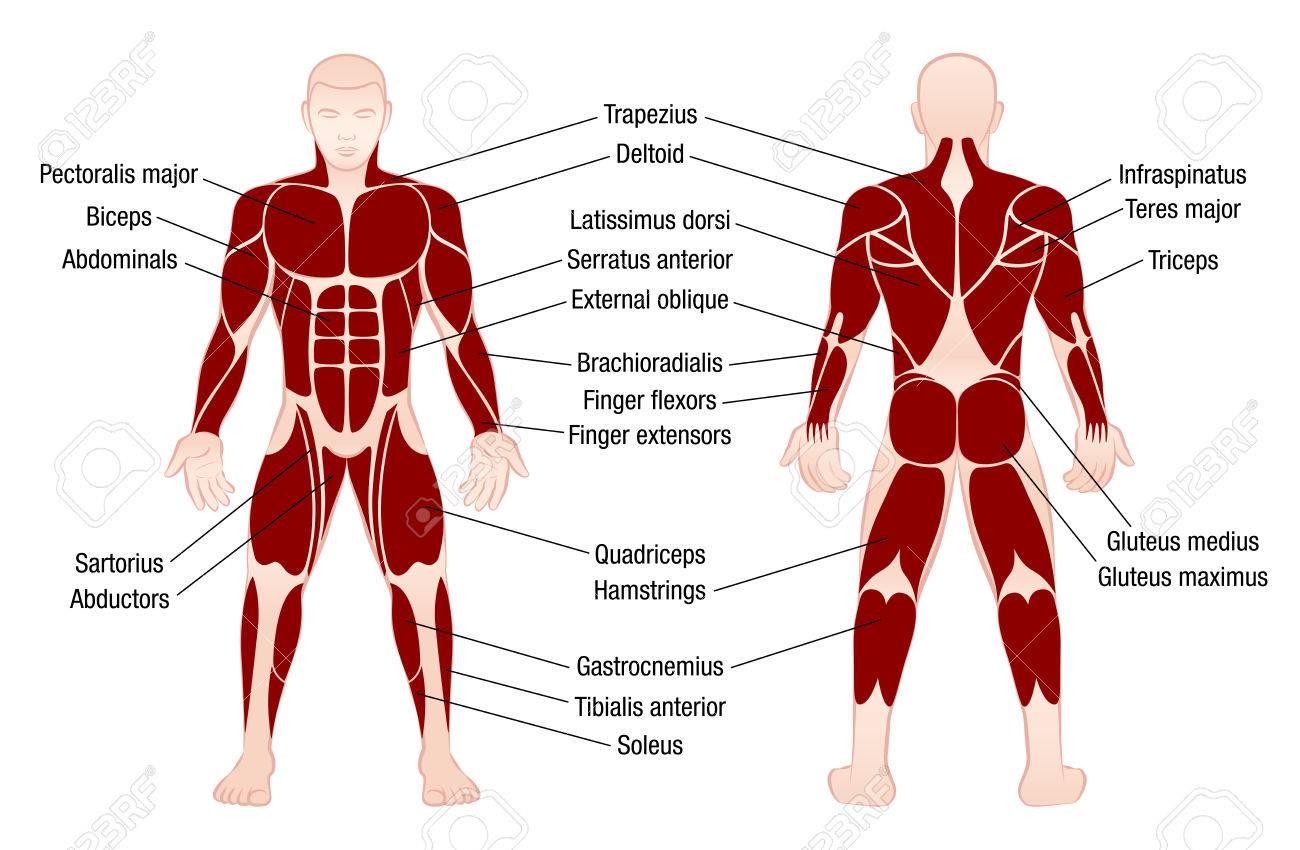 Muskel-Diagramm Mit Genauen Beschreibung Der Wichtigsten Muskeln Des ...
