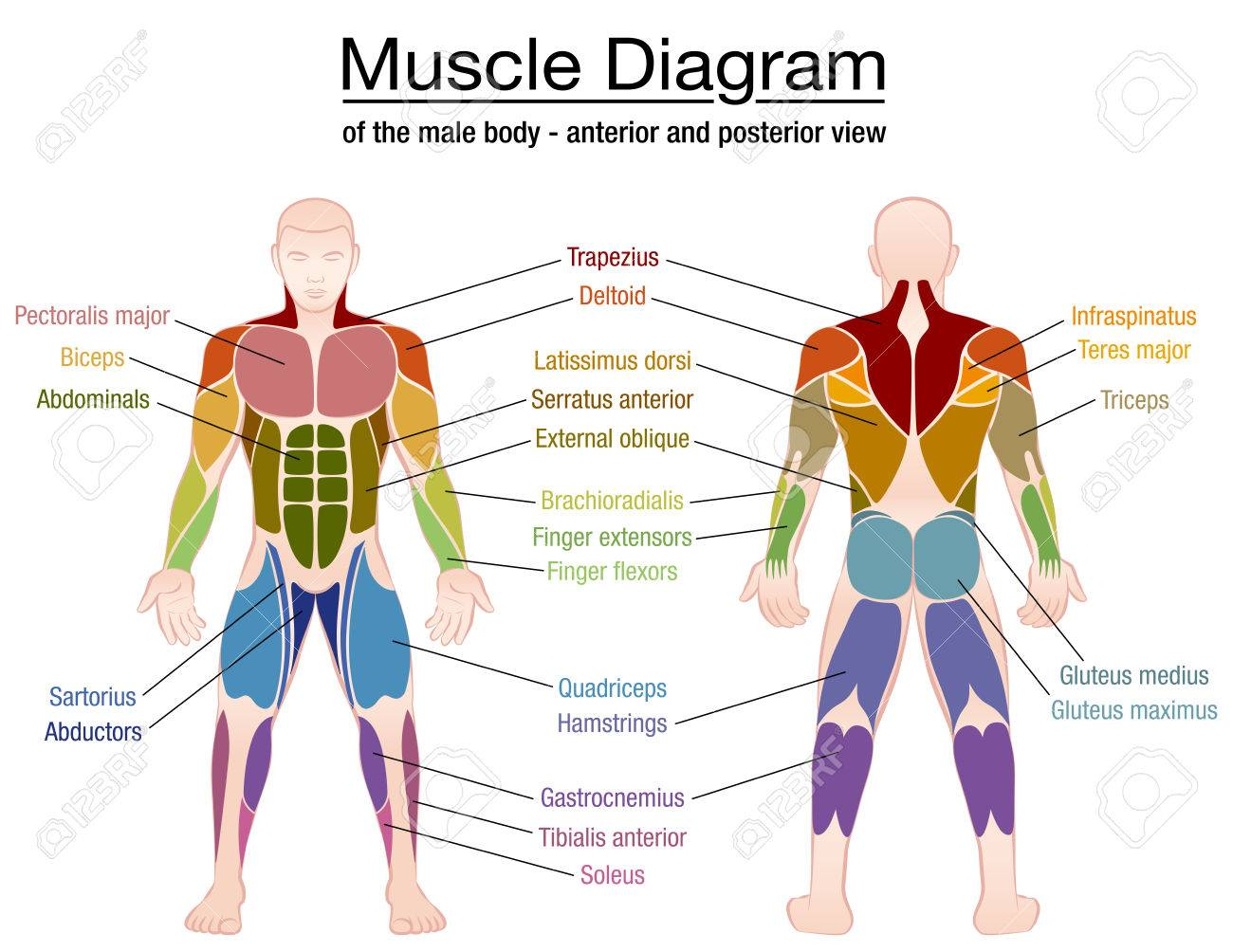Muscle diagram - most important muscles of an athletic male body - anterior and posterior view - labeled isolated vector illustration on white background. - 76263915