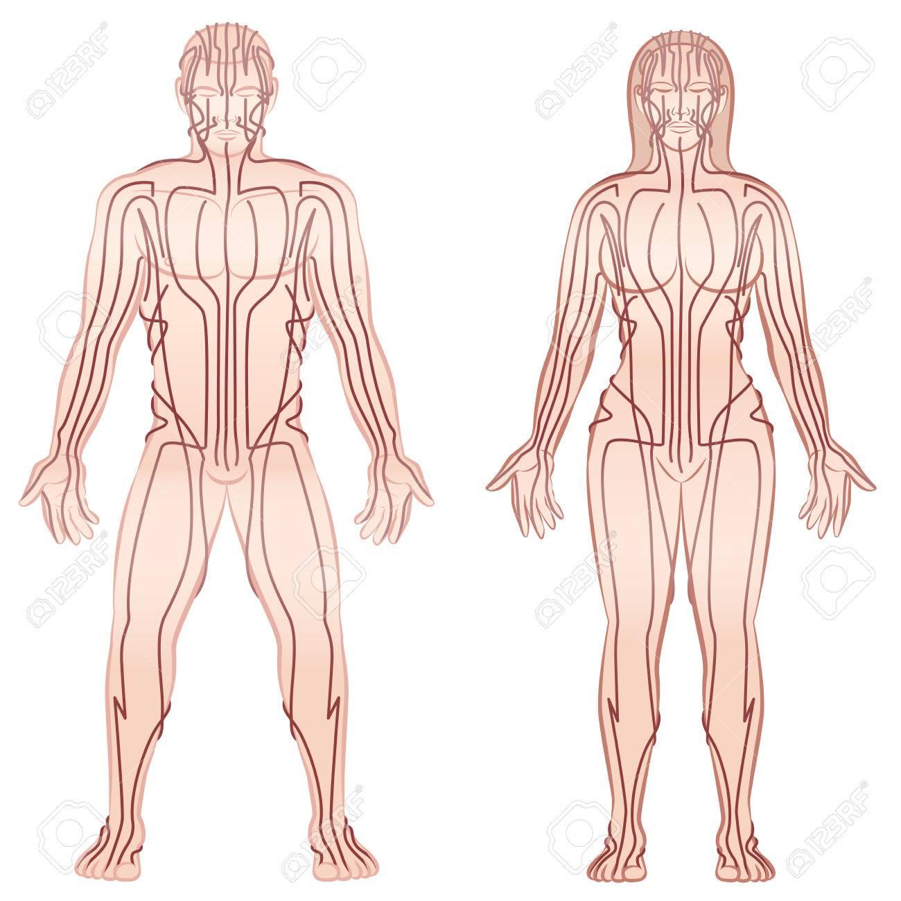 Fantastisch Diagramm Der Organe Des Körpers Ideen - Physiologie Von ...