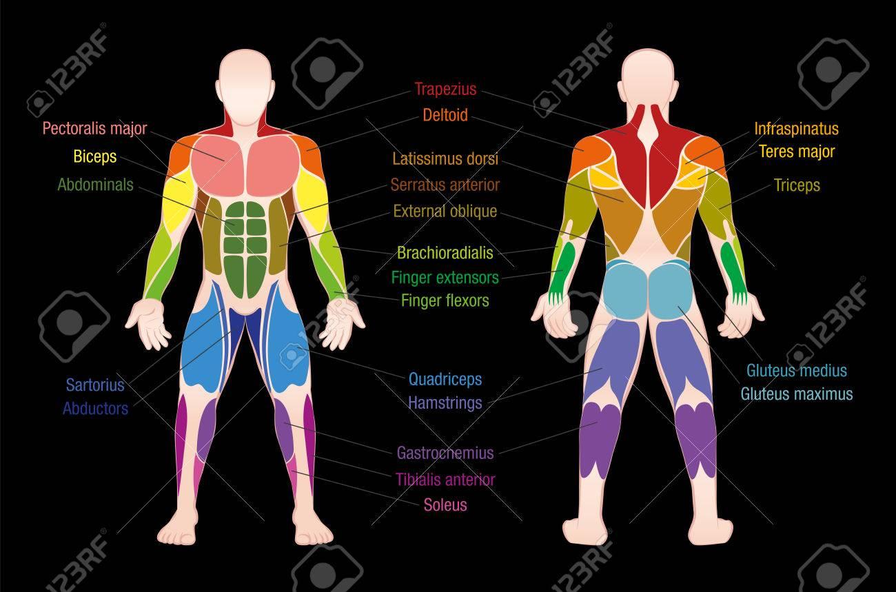 La Carta Del Músculo Con Los Músculos Más Importantes Del Cuerpo ...