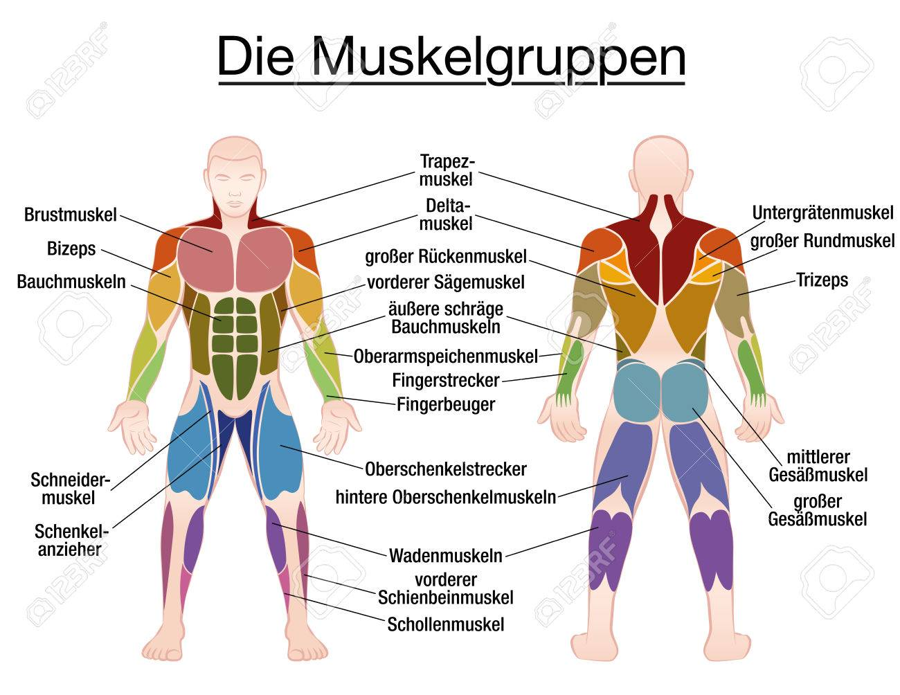 Muscle Chart German Labeling Most Important Muscles Of The