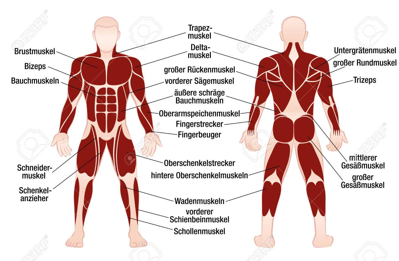 Muscle Chart With German Description Of The Most Important Muscles