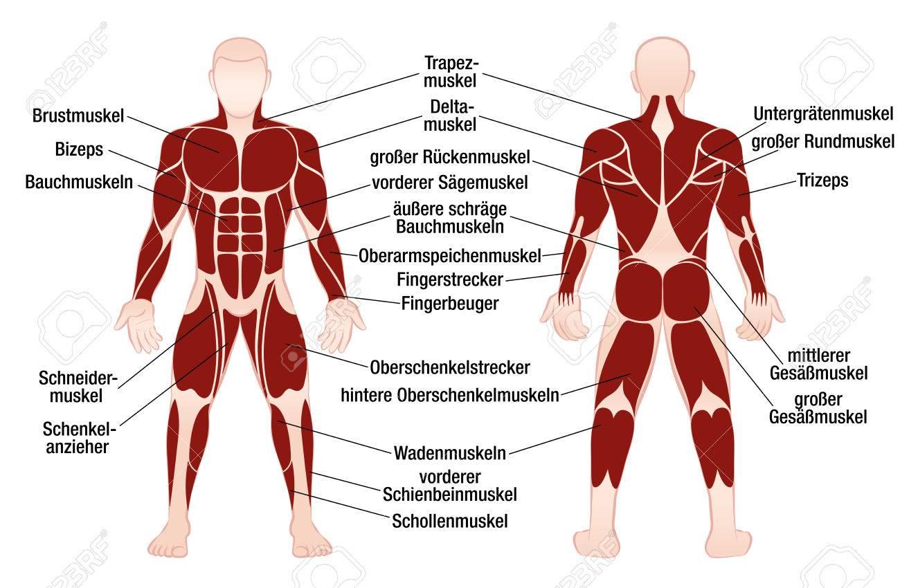 Muskel-Diagramm Mit Deutschen Beschreibung Der Wichtigsten Muskeln ...