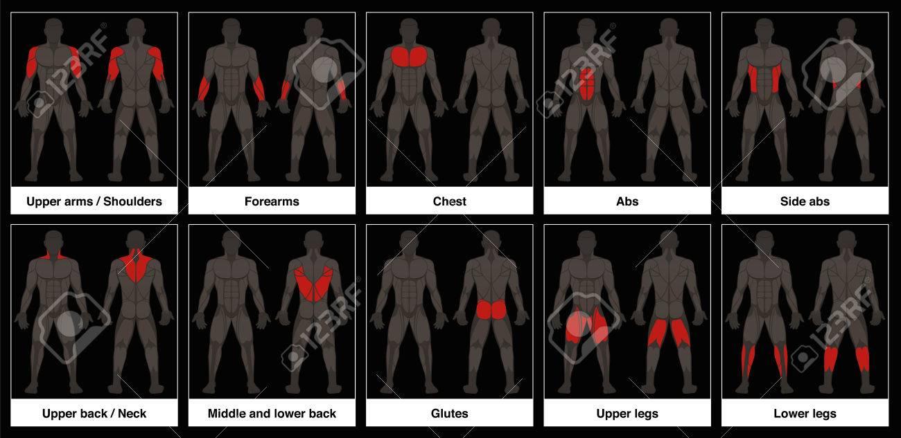 Muskel-Diagramm - Männlichen Körper, Frontal-und Rückansicht Mit ...