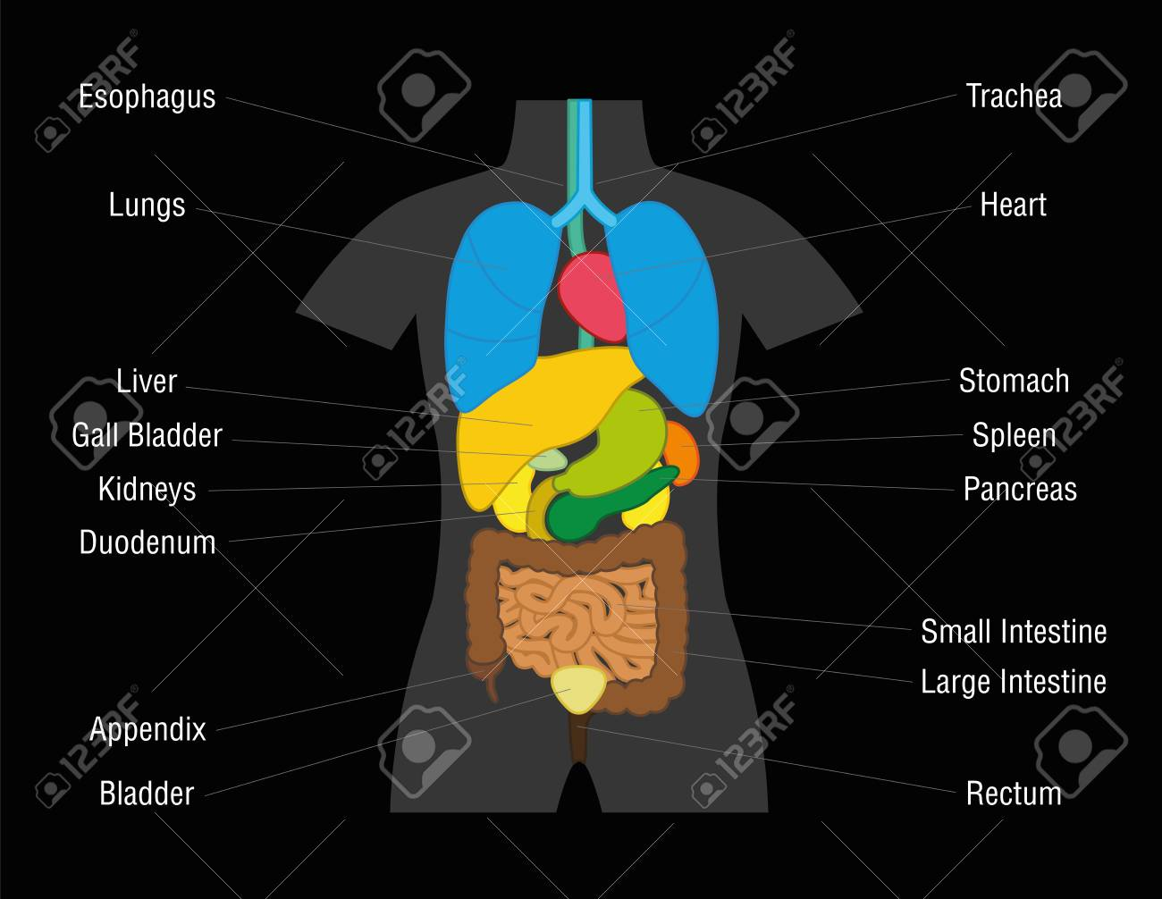 Inner Organs Chart - Schematic Illustration With Colored Organs ...