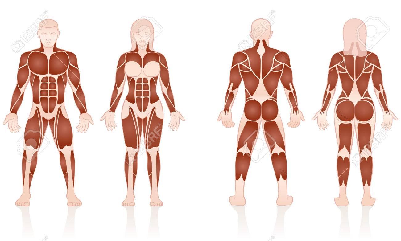 Músculos Masculinos Y Femeninos - Grupos De Músculos Grandes De ...
