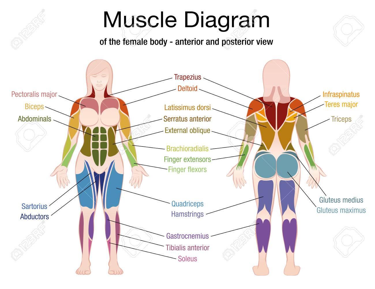 Diagrama Muscular Del Cuerpo Femenino Con La Descripción Exacta De ...
