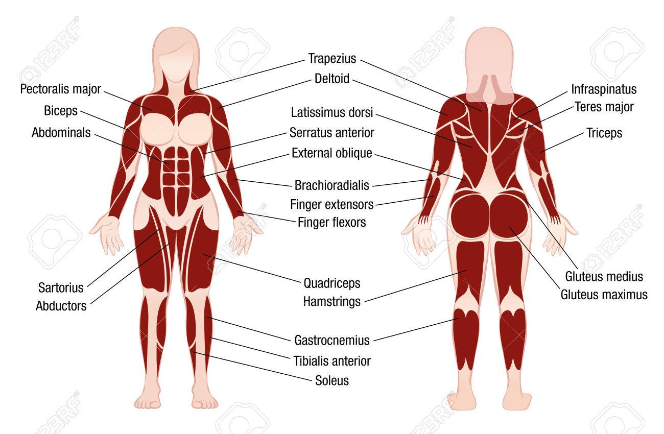 Female bodybuilder muscles diagram electrical drawing wiring diagram muscle chart with accurate description of the most important rh 123rf com back muscles diagram leg muscles diagram ccuart Images