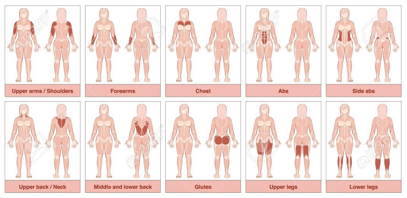 Gráfico De Grupo Del Músculo - Cuerpo Femenino Con Los Músculos ...