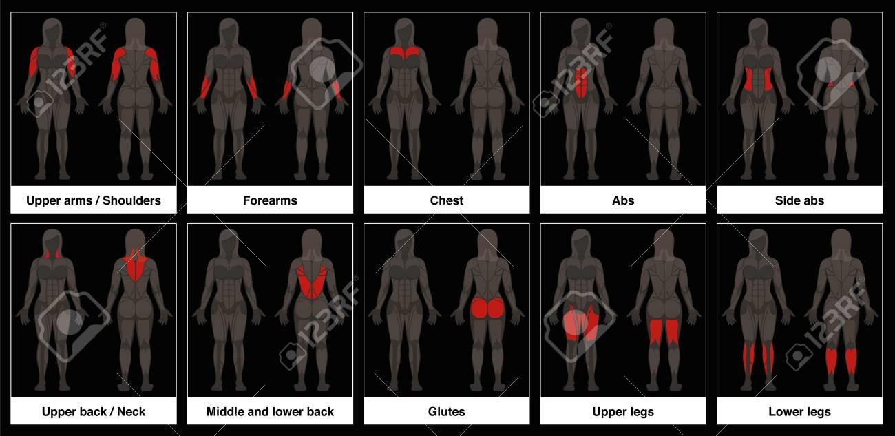 Carta De Músculo - Cuerpo Femenino, Frontal Y Vista Posterior Con ...