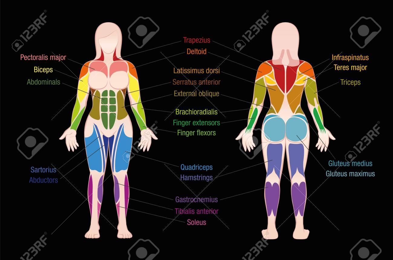 Gráfico De Músculos Con Los Músculos Más Importantes Del Cuerpo ...