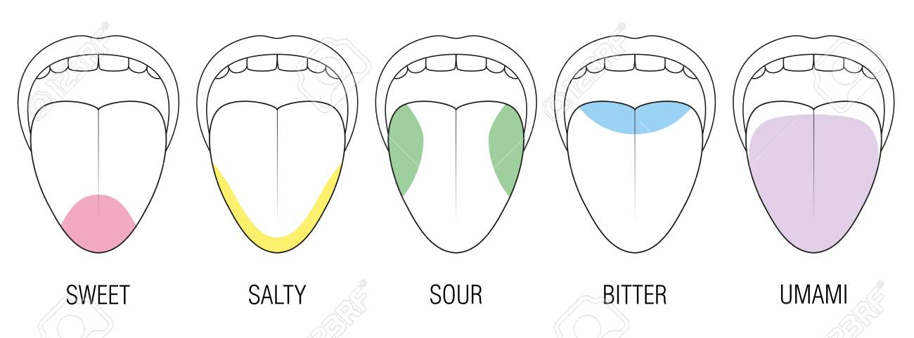 Human tongue with five taste areas - bitter, sour, sweet, salty and umami perception - colored division with zones of different taste buds - educational, schematic vector on white background. - 93295369