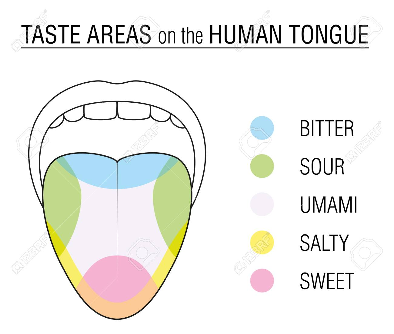 taste areas of the human tongue - colored division with zones of taste buds  for bitter