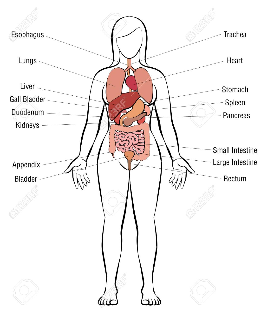 Internal organs, female body - schematic human anatomy illustration - isolated vector on white background. - 105481148