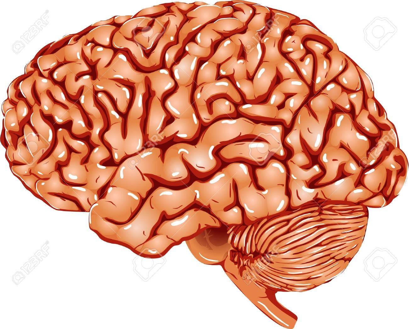 Human Brain Stock Vector - 13699571