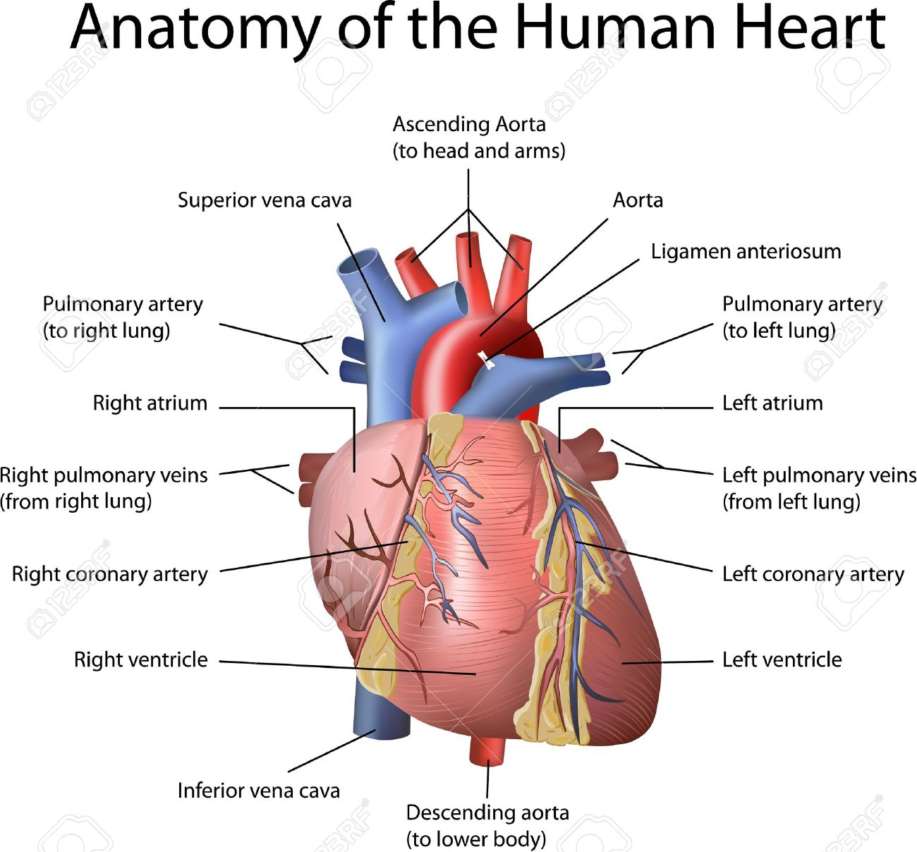 human heart illustration with annotation isolated on white, Muscles