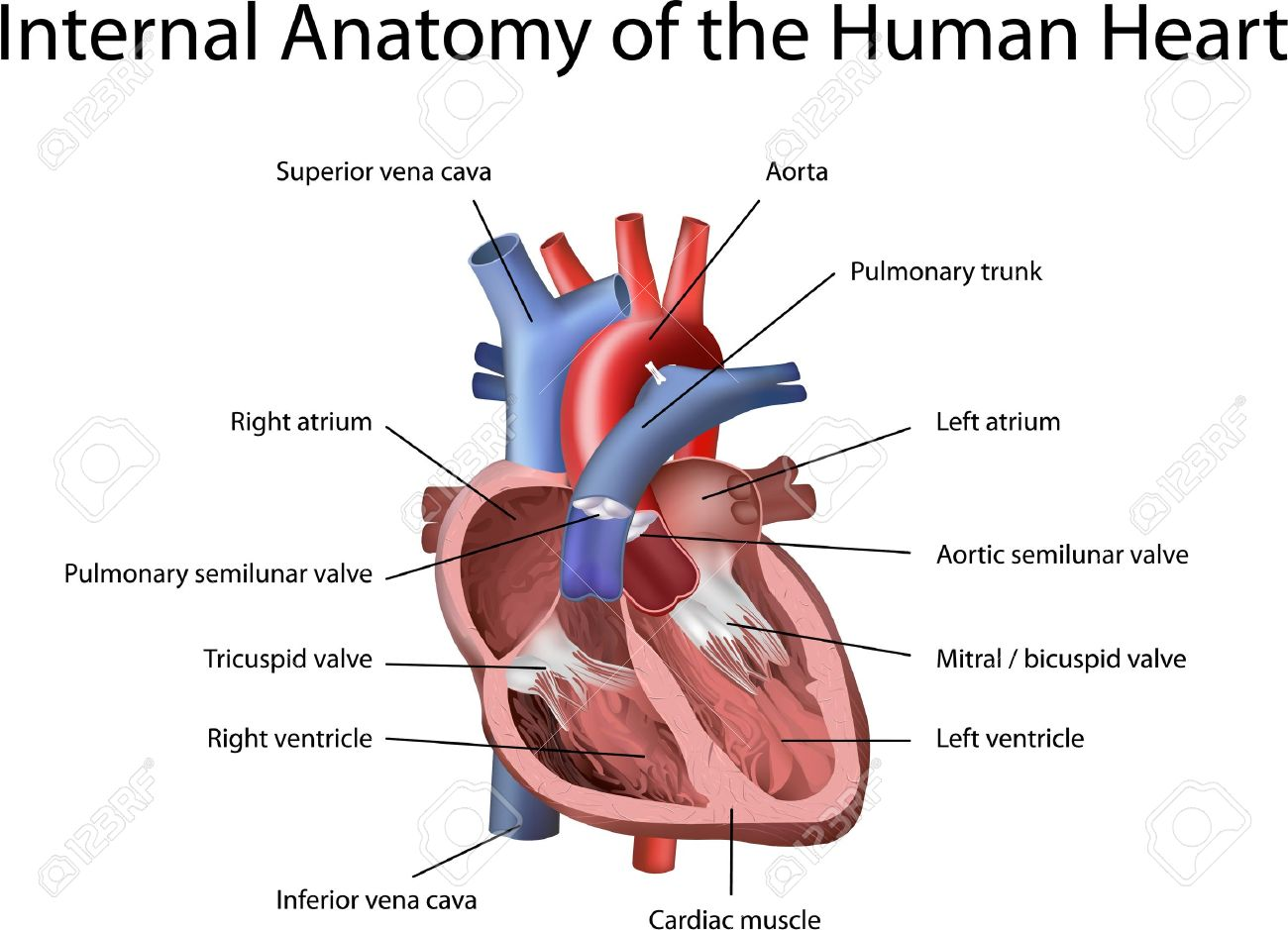 Human heart illustration with annotation isolated on white human heart illustration with annotation isolated on white background stock vector 13699567 ccuart Images