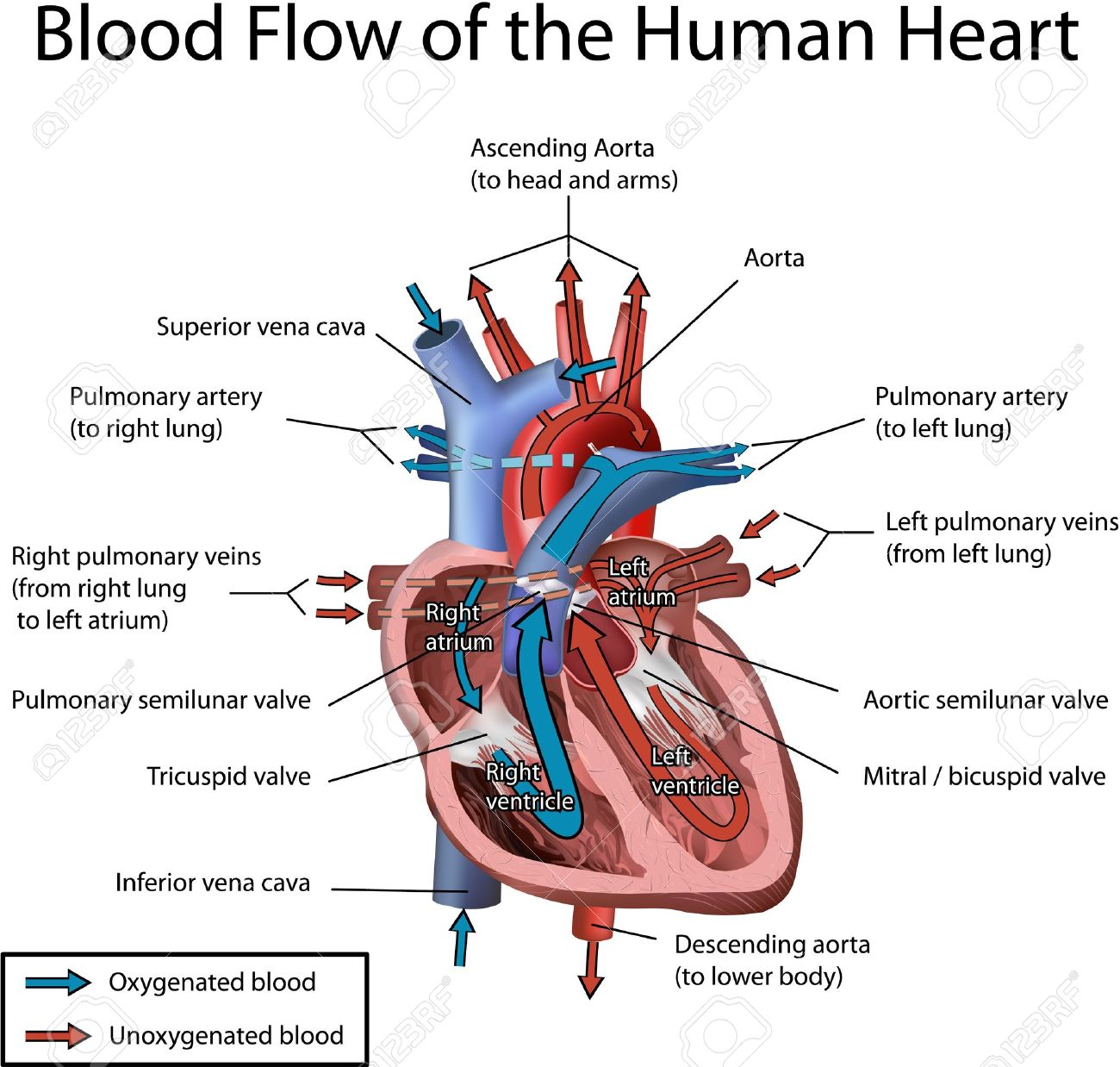 Human Heart Blood Flow Illustration With Annotation Isolated