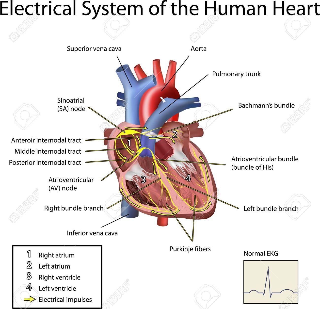 Sistema Eléctrico De La Ilustración Del Corazón Aisladas Sobre Fondo ...
