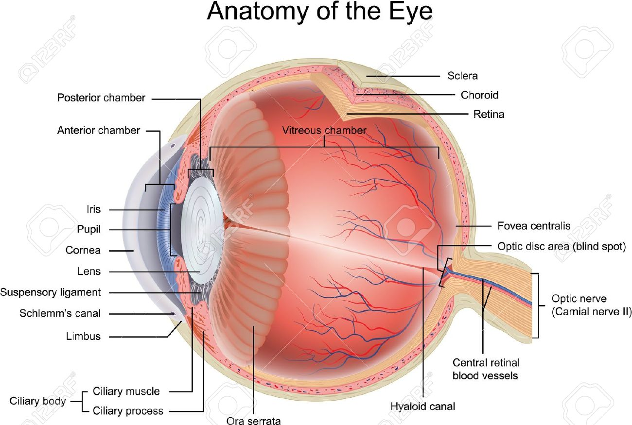 13819012 Anatomy of the Eye Stock Vector diagram dogfish skeleton diagram chicken skeleton diagram \u2022 wiring diagram  at soozxer.org