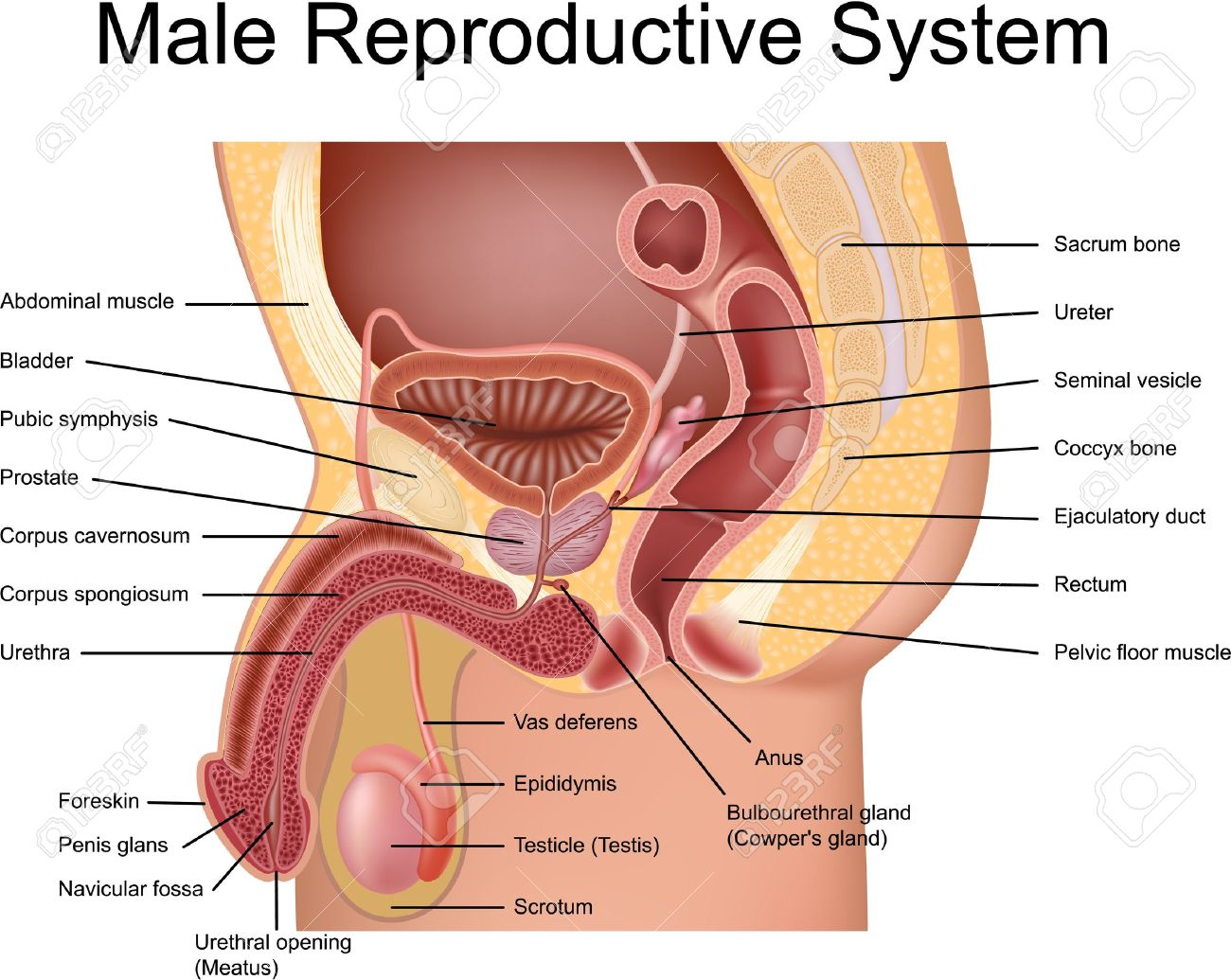 Male human reproductive system diagram tenderness male reproductive system cross section view royalty free cliparts muscles ccuart Choice Image
