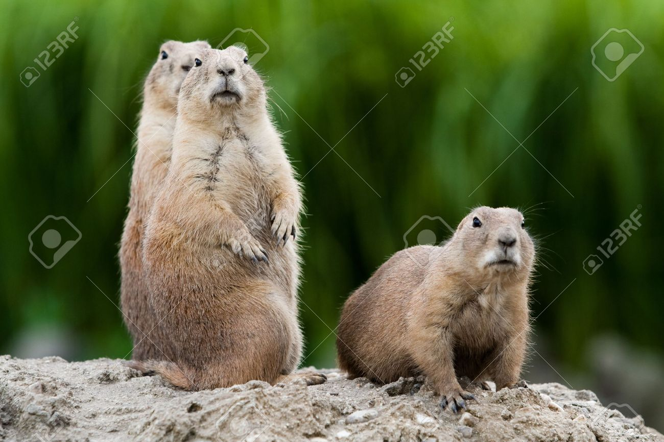 Group of prarie dogs looking around. These animals native to the grasslands of North America - 5556111