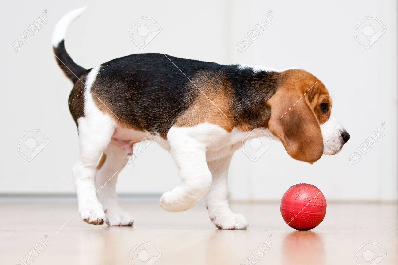 Dog Playing With Red Ball Beagle Puppy Stock Photo Picture And Royalty Free Image Image 6691014
