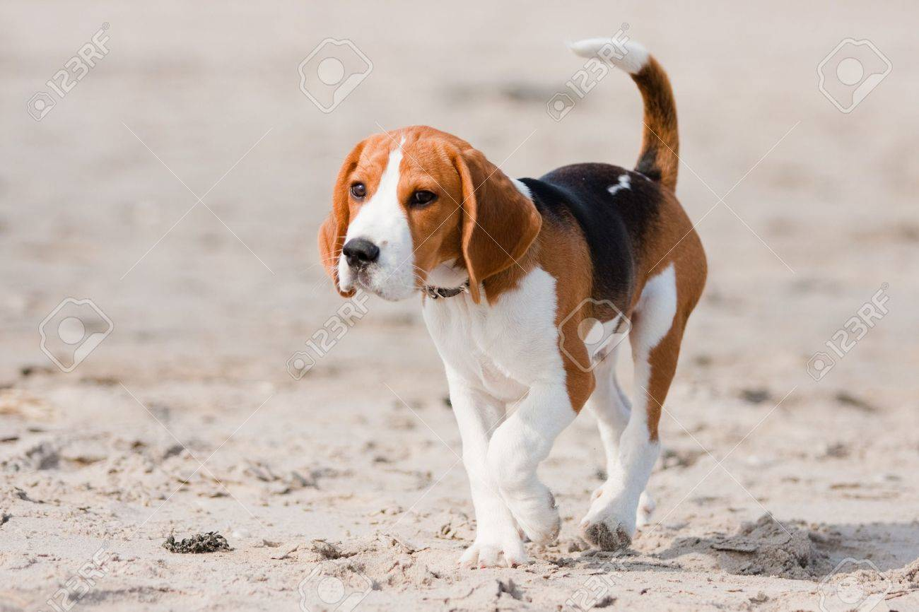 Popular Sea Beagle Adorable Dog - 6953643-small-dog-beagle-puppy-walking-on-the-beach  Pictures_93934  .jpg