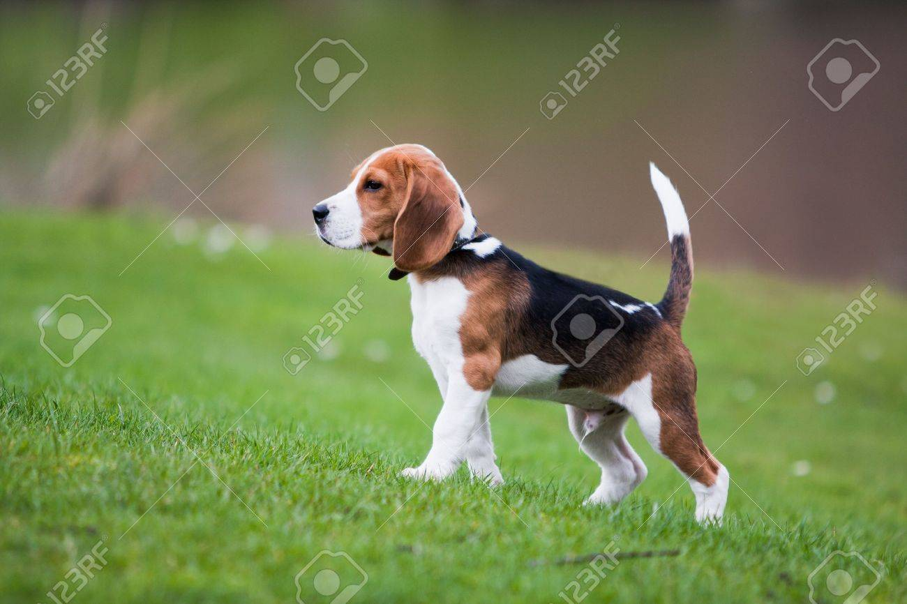 Dog On Green Meadow Beagle Puppy Walking Stock Photo Picture And Royalty Free Image Image 7669094