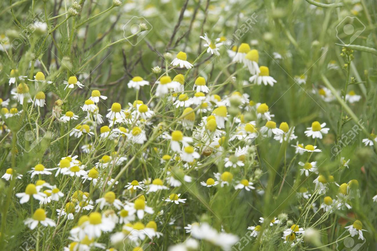 wild daisies on a meadow in landscape format Stock Photo - 724438