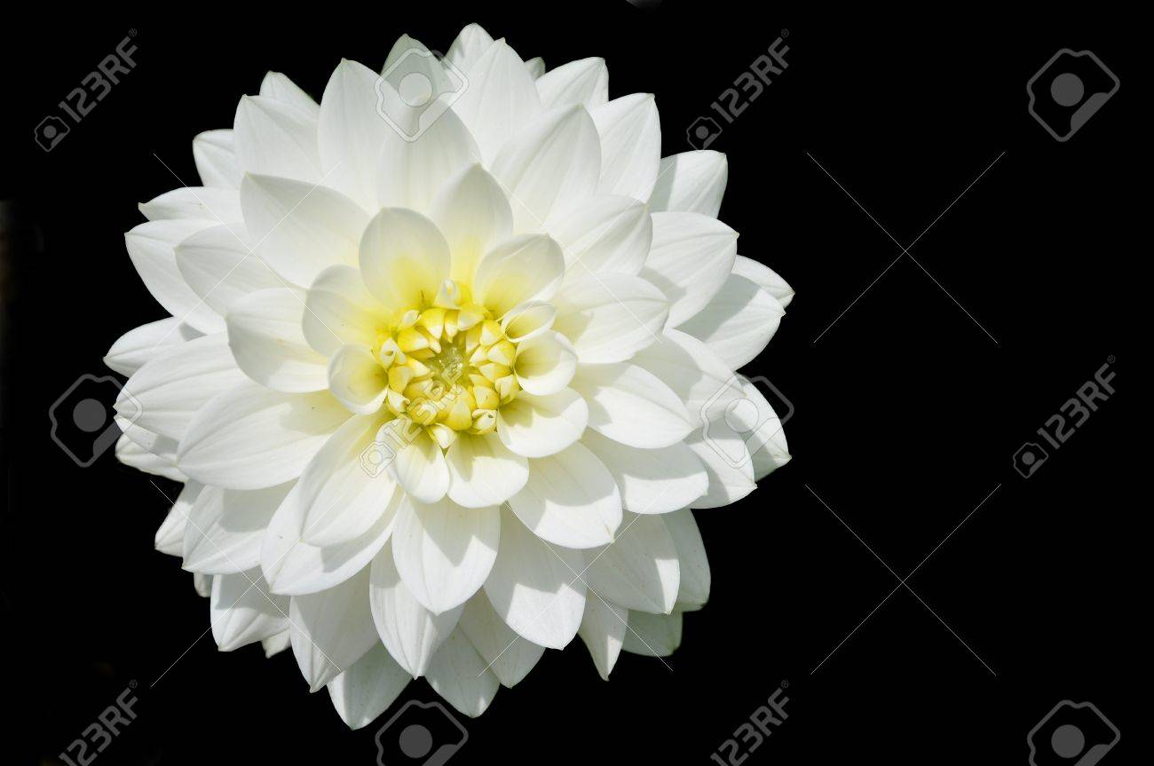 Beautiful White Dahlia Flower In Black Background Stock Photo