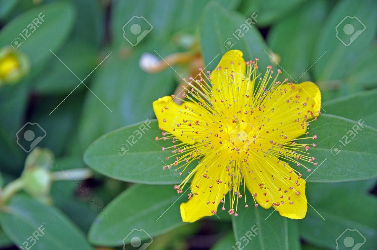 Beatiful Yellow Flower Rose Of Sharon With Stamen Stock Photo