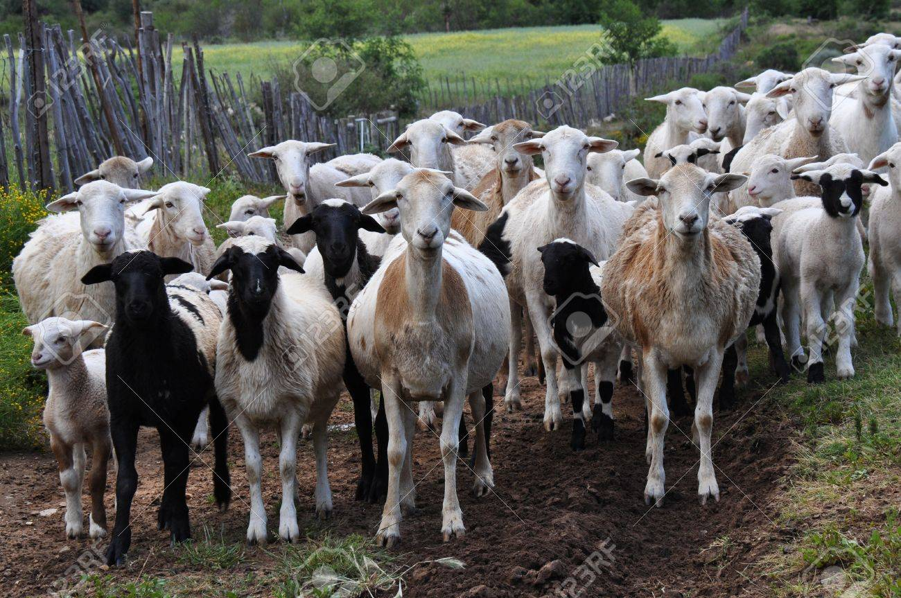 herd of goats in the mountains of swartberg south africa stock photo