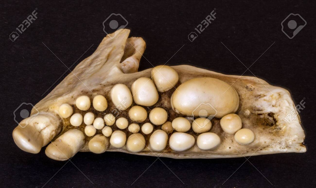 Skeletal jaw of musselcracker fish, South Africa, showing formidable crushing teeth - 150122952