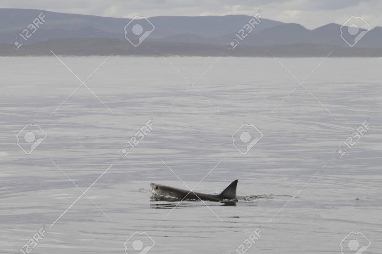 great white shark swimming Stock Photo - 12883143
