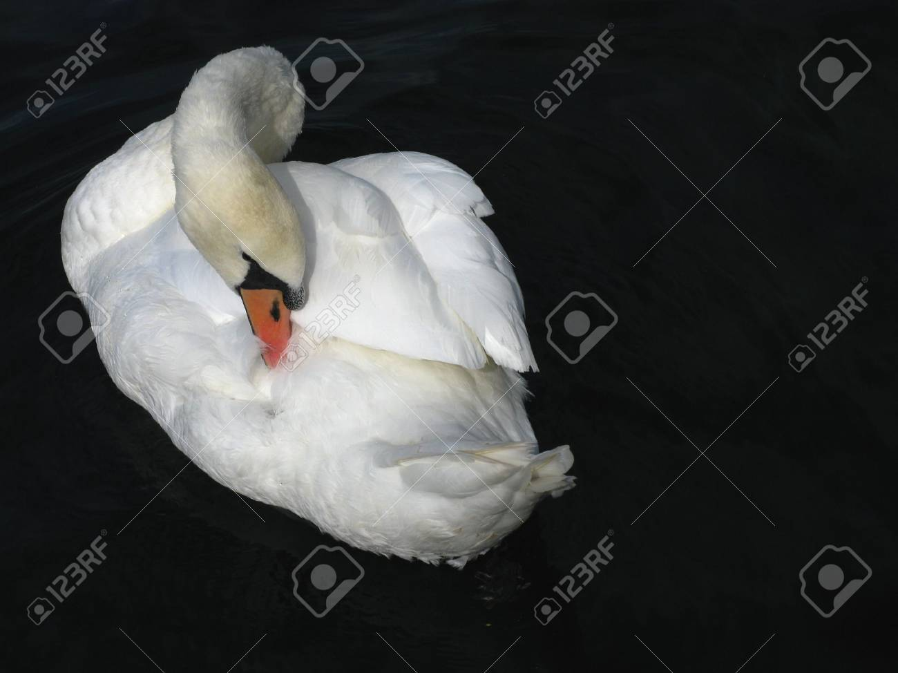 The Sleeping Swans >> A Sleeping Swan Stock Photo Picture And Royalty Free Image Image