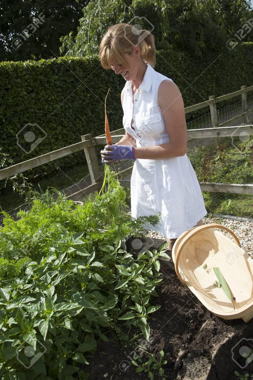 Gemusegarten Frau Zieht Karotten Von Einem Hochbeet Lizenzfreie