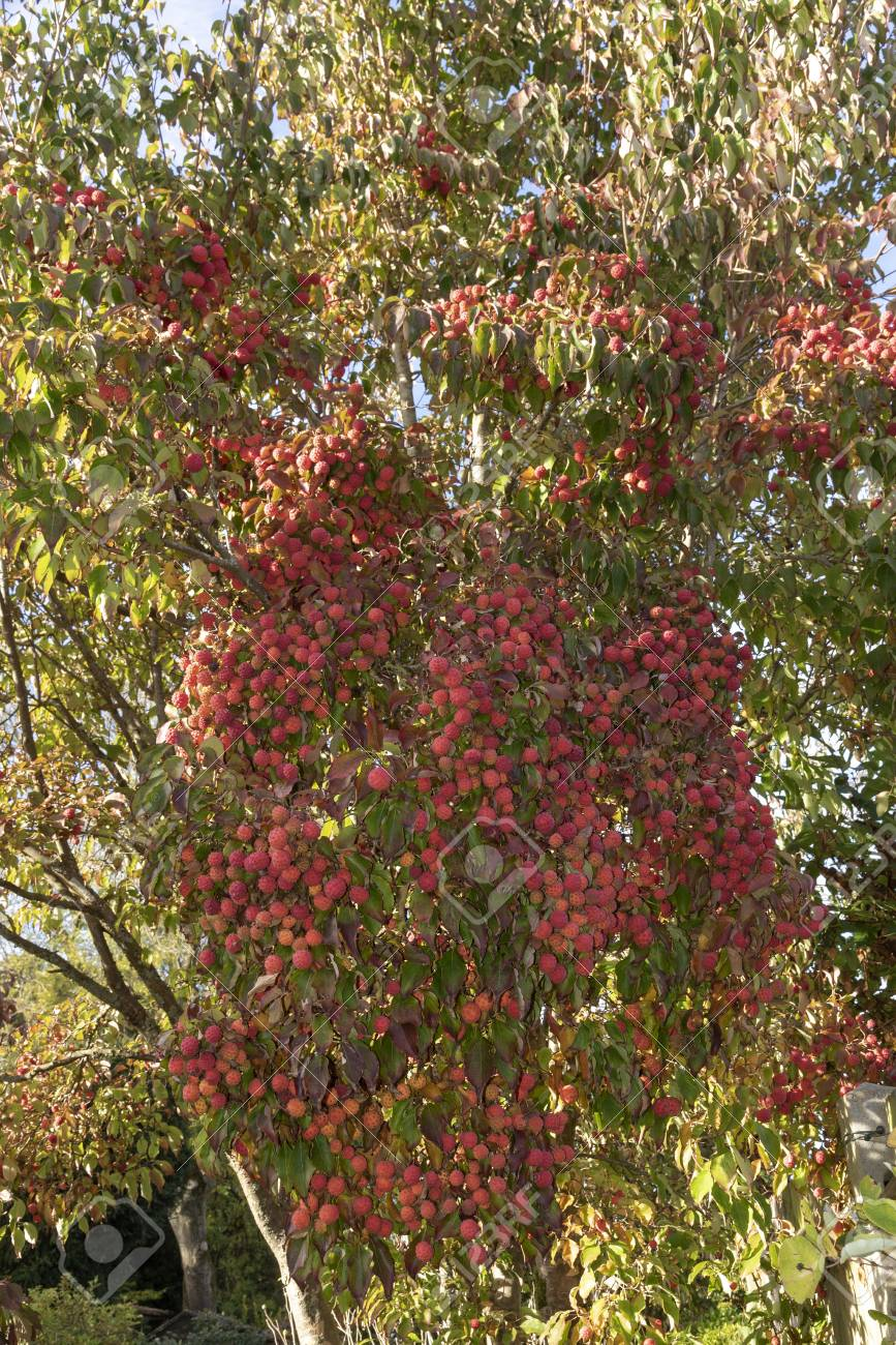 Fruits And Foliage Of The Kousa Dogwood Tree In Late Summer Stock